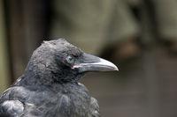Portrait einer zahmen Rabenkrähe (Corvus corone corone)