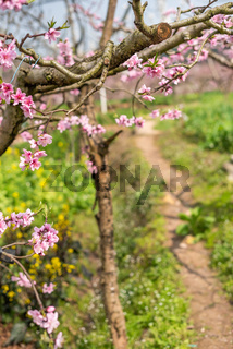 Peach blossom tree close-up in Chengdu