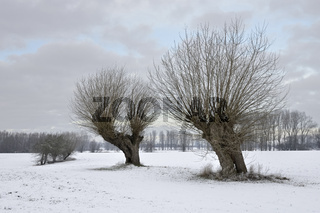 alte Kopfbäume... Kopfweiden auf der Bislicher Insel * Nordrhein-Westfalen, Deutschland*