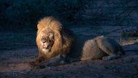 Männlicher Afrikanischer Löwe