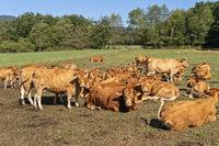 Rinderherde auf einer Weide