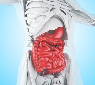 3d illustration of Digestive System