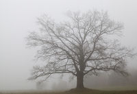 old huge oak without foliage