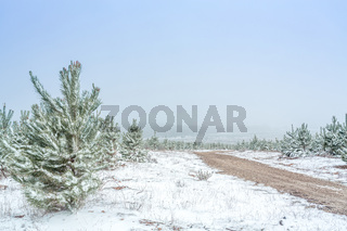 Dirt road through pine forest in snow covered winter