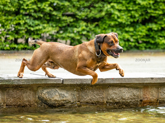 Big dog is having fun at the water
