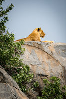 Lioness lying on rocky outcrop beside bushes