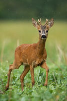 A solitary young roe deer buck standing on the grassland