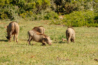 Warthogs gathering together in a circle to eat grass