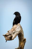 Magpie shrike looks left on dead branch