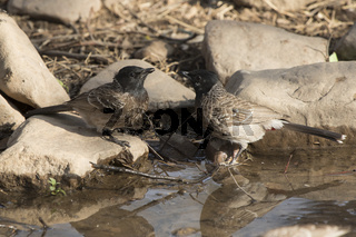 two Red-vented Bulbul that sit on the edge of the pond and drink water
