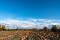 Kürbisfeld im Herbst