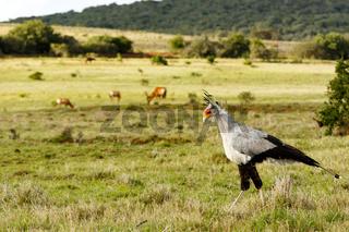 Secretary Bird walking with his head down