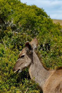 Kudu standing and eating on a branch