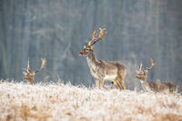 Herd of young fallow deer stags in winter standing on a frosted meadow