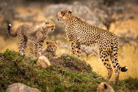 Cheetah stands with two cubs on mound