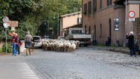 Sheep Herded in Rome