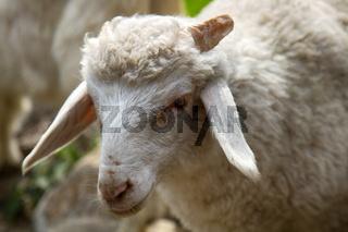 Crispy goat