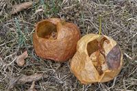 Two hollow apples on grass