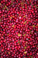 cranberries are collected in the swamp