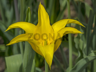 Gelbe tulpe 'Tulipia'