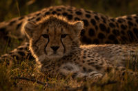 Close-up of backlit cheetah cub beside mother