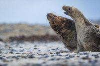 Kegelrobben (Halichoerus grypus) auf Helgoland