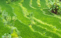 Rice paddy fields in Bali