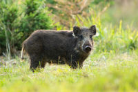 Young solitary wild boar standing on a meadow in summertime alone