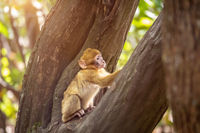 Barbary macaque in the forest