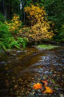 Autumn at a Small Creek with Maple Leaves