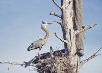 Great Blue Heron feeds its young one on florida gar