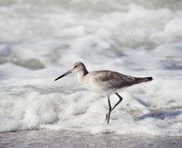 Willet . Shore Bird walking near water.