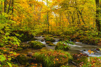 Flow of Oirase River in autumn season with the colorful falling leaves on the green mossy rocks