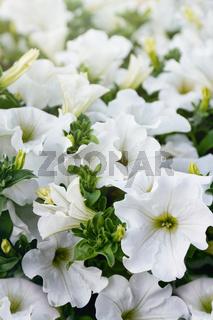 Closeup of white petunia flowers in the sun
