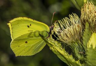 Zitronenfalter 'Gonepteryx rhamni'