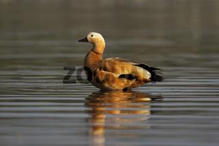 Brahminy duck, Bhigvan, Pune, Maharashtra, India