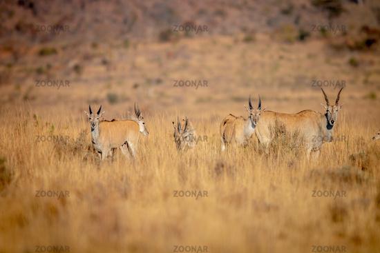 Herd of Eland standing in the grass.