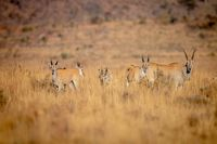 Herd of Eland standing in the grass.