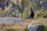 Gämse im Nationalpark Mercantour