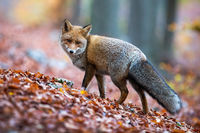 Red fox with puffy tail looking behind over shoulder in autumnal forest.