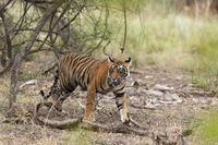 Young male tiger walking, Ranthambhore National Park, Rajasthan, India