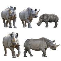 Set of  Rhinoceros Isolated on a White Background.