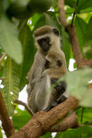 Vervet monkey mother with baby on branch