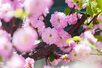 Blossom almond