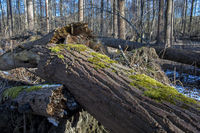 Trunk of a damaged tree with moss