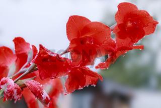 Rote Gladiolen, (Gladiolus, Schwertblume)  regennaß