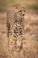 Cheetah walking through long grass lifting paw