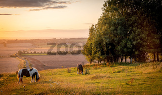 Horses pasturing in a rural landscape under warm sunlight with blue yellow and orange colors grazing grass trees and outstretched view