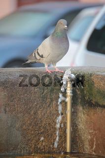 Taube am Brunnen