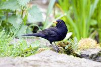 blackbird turdus merula in garden setting